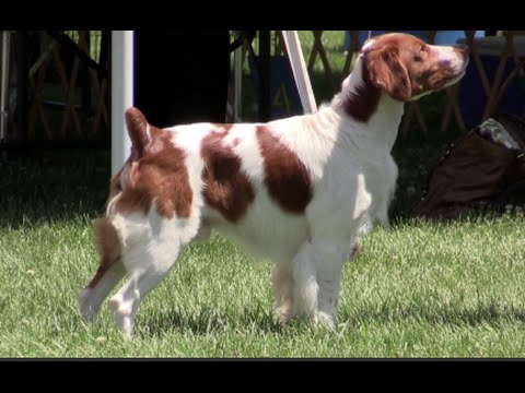 Brittany Spaniel - Erie Shores Kennel Club