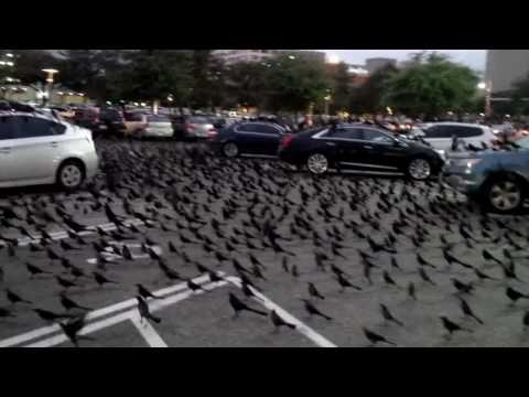 Great-Tailed Grackles In Houston