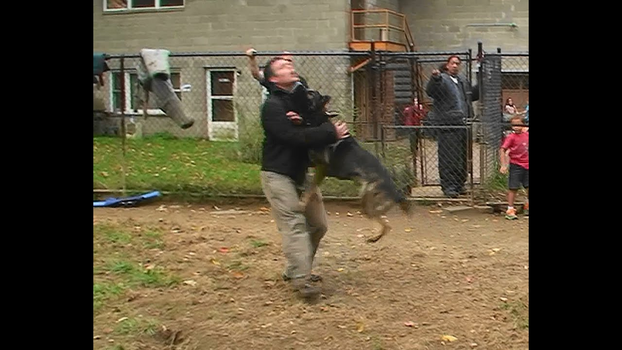 Attack Trained Dutch Shepherd and German Shepherd (K9-1 ...