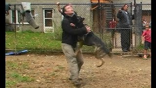 Attack Trained Dutch Shepherd And German Shepherd (k9-1.com)