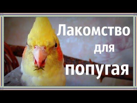 Горец птичий (спорыш) - лечебные свойства, рецепты
