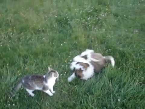 Cat fights dog / Cat vs. Dog / Cat the winner! / Tiny St. Bernard / funny cat / Kot walczy z psem!
