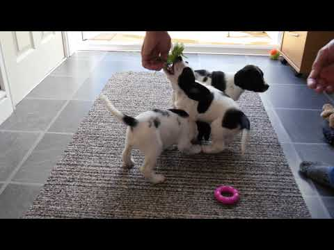 English Springer Spaniel puppies at six weeks old at playing with new collars