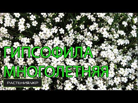 Гипсофила многолетняя / неприхотливые многолетние цветы