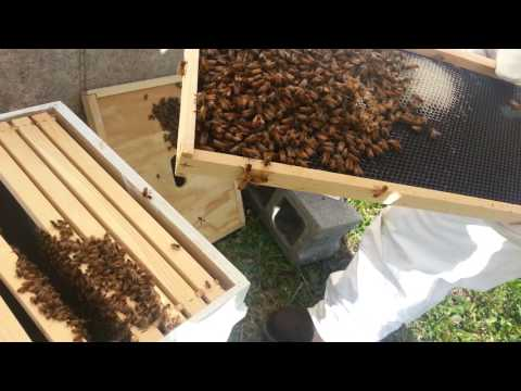 Beekeeping first inspection, four days after installing package