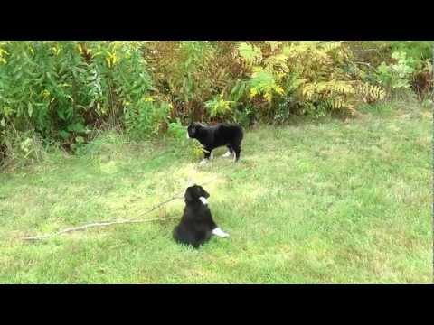 The Kyle Juniors - Black Tri Miniature Australian Shepherd Puppies (Kylie 2012)