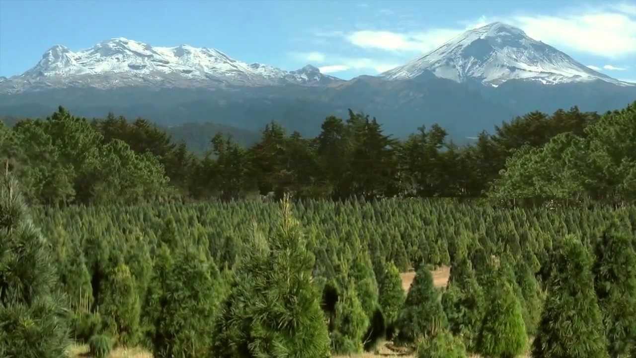 bosque de los rboles de navidad