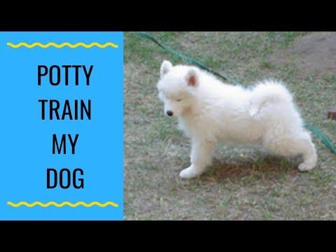 How Do I Potty Train My Samoyed?