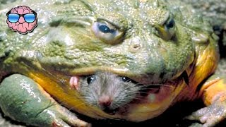 Top 10 Most DANGEROUS Frog Species In The World