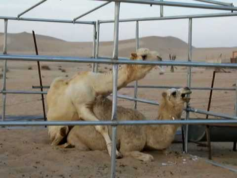 Camel having sex