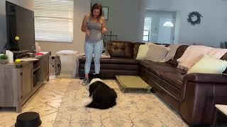 Border collie trick dog training
