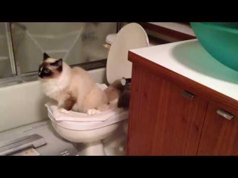Butter ~ CitiKitty Cat Toilet Training 訓練用廁 ~ ragdoll cats ラグドール