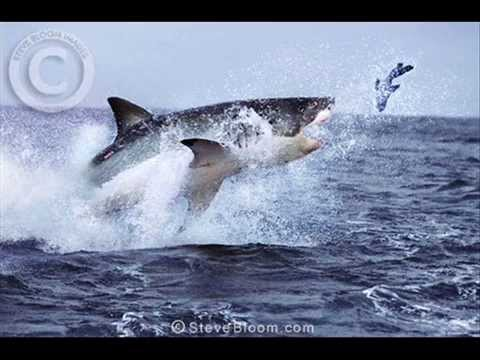 Megalodon Compared To Great White | www.pixshark.com ...