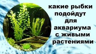 Подходящие рыбки для аквариума с живыми растениями.