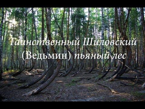 Таинственный Шиловский пьяный лес