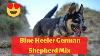 All about the Blue Heeler German Shepherd Mix  Should you get one for you?