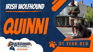 Quinn| 1 Year Old Irish WolfHound