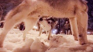 ЛАЙКА СТРАСТНО ЗНАКОМИТСЯ С ХАСКИ / дрессировка собак