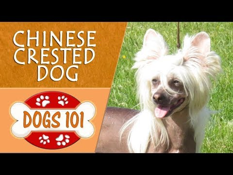 Dogs 101 - CHINESE CRESTED DOG - Top Dog Facts About the CHINESE CRESTED DOG