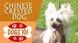 Dogs 101  CHINESE CRESTED DOG  Top Dog Facts About the CHINESE CRESTED DOG