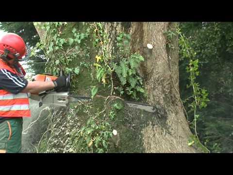 Dismantling Ash Tree near a House.