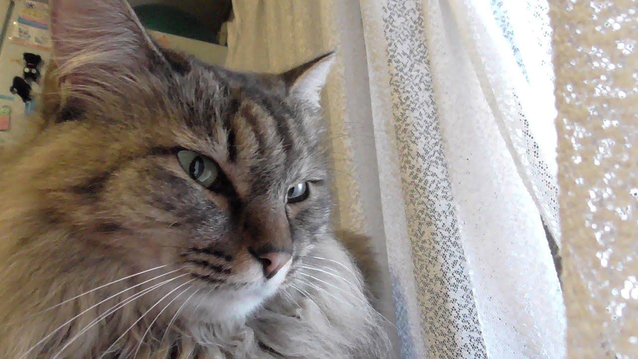 モフ猫 もふっとかまって 【保護猫】