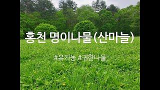 [강원 홍천] 유기농 명이나물 장아찌 절임 산마늘 장아…