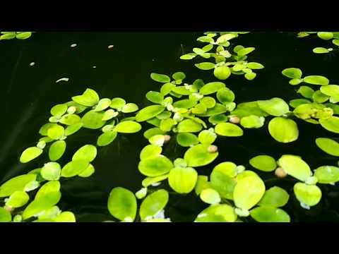 Panen gurame kolam terpal