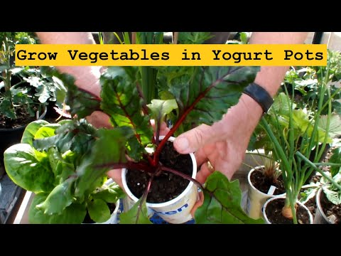 Grow Vegetables in Yogurt Pots with some startling results.