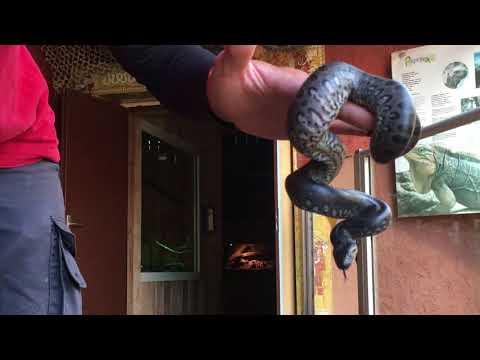 Naissance de bébés anacondas à l'aquarium du Bugue