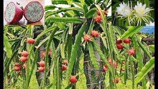 Nunca mais plante pitaya (fruta do dragão) sem antes assistir a esse vídeo