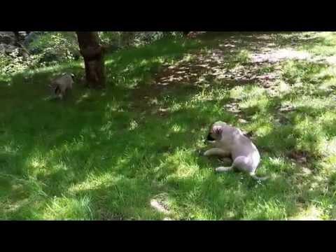 anatolian shepherd puppies eight weeks old