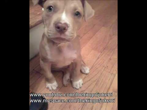 Time lapse of growing pitbull