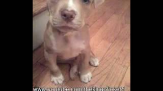 Time lapse of growing pitbull