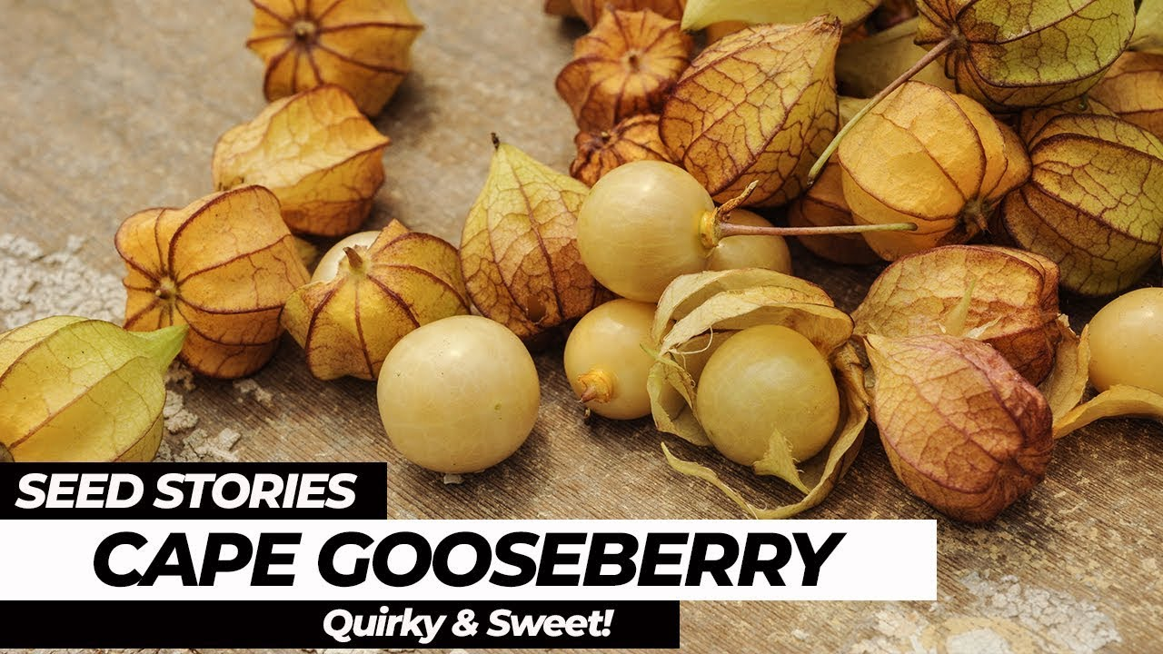 SEED STORIES | Cape Gooseberry: Quirky and Sweet