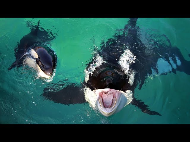 World's first talking killer whale