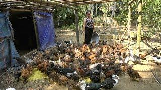 Mô hình nuôi gà thả vườn hướng chăn nuôi mới cho người nông dân