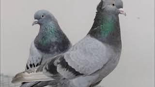 Güvercin sesi ötüşü