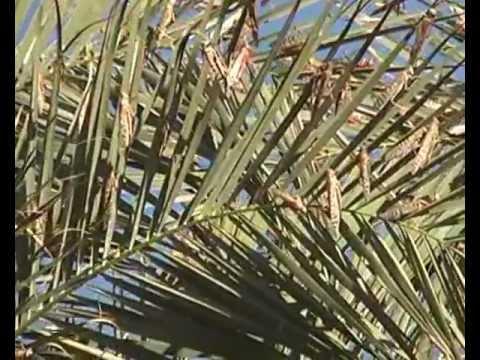 الجراد الصحراوي يجتاح شمال السوان locusts -  Northern Sudan