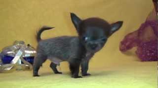 Щеночки чихуа-хуа и той-терьера Mini-dogs, puppy for sale