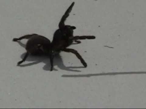 big spider attack in