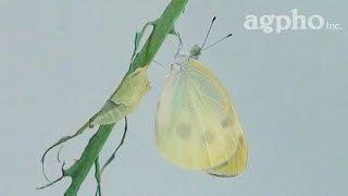 モンシロチョウが蛹から羽化する様子です。 The eclosion of white butt...