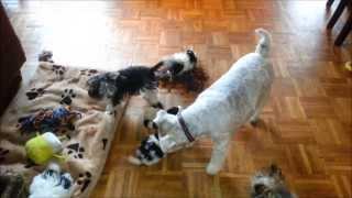 Biewer-yorkshire-terrier Welpen / N-wurf (6)