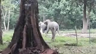 Gajah || liput langsung sedang kawin