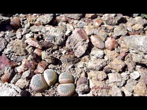 Lithops geyeri - south africa