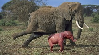 Amazing Herd Of Elephant Help Mother Elephant Giving Birth In The Wild
