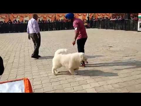 SAMOYED DOG SHOW AT AMBALA