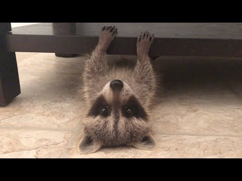 I thought the internet should see this raccoon playing