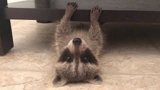 i-thought-the-internet-should-see-this-raccoon-playing