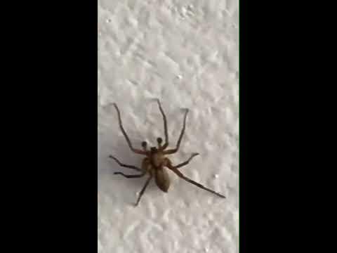 Maire tiene arañas venenosas